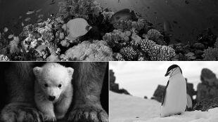 Niedźwiedzie polarne i pingwiny mogą wyginąć przed końcem stulecia