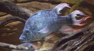 Krytycznie zagrożony gatunek  Mangarahara cichlid (London Zoo/Berlin Zoo)