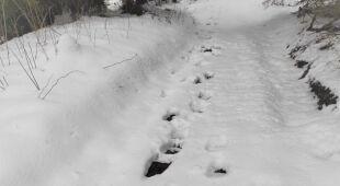 Tropy niedźwiedzia na granicy polsko-słowackiej na Podhalu