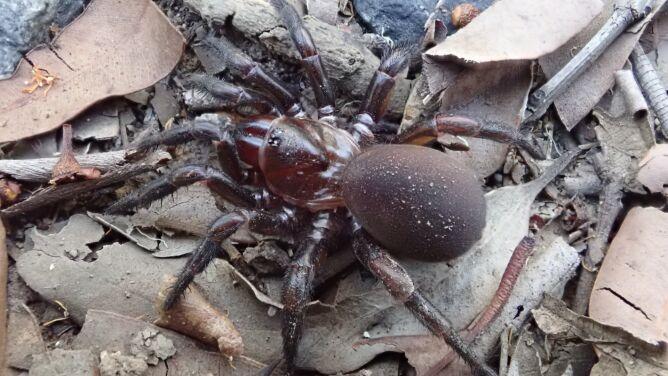 """Odkryto nowy rodzaj pająków. Budują """"niezwykle dobrze ukryte nory"""""""